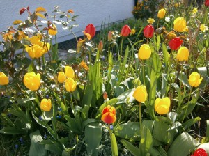 Les belles tulipes