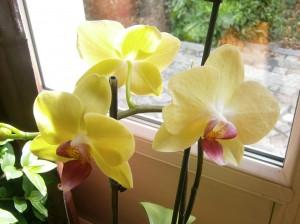 première fois que mon orchidée refleurie magnifique oh !