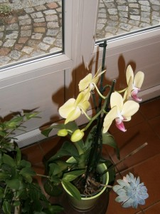 ORCHIDEE QUI A REFLEURIE CHEZ MOI